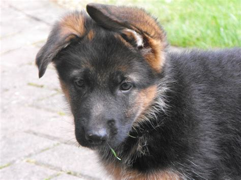 german shepherd puppies for sale german shepherd puppies for sale sunderland tyne and wear pets4homes
