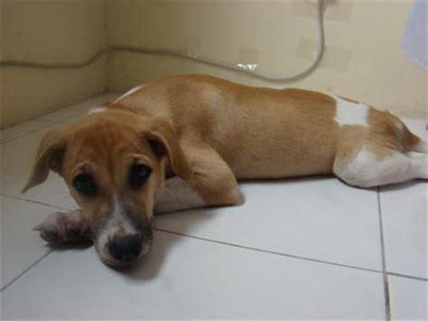 beagle cross golden retriever beago golden retriever beagle mix info puppies pictures