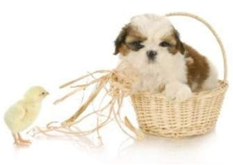 sugar and spice shih tzu shih tzu information center shih tzu names