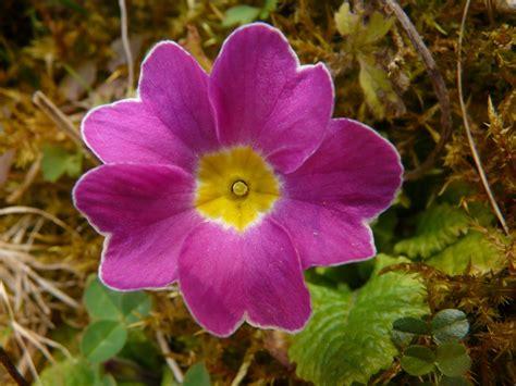 primula rossa fiore primula il fiore annuncia la primavera variet 224 e specie