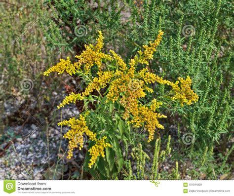 pianta con fiori gialli pianta selvatica fiorisce con l abbondanza di fiori