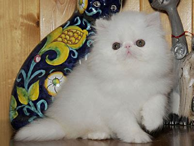 gatti persiani prezzi consigli per scegliere un cucciolo gattipersiani it