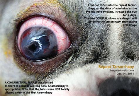 shih tzu conjunctivitis veterinary medicine surgery singapore toa payoh vets dogs cats rabbits guinea