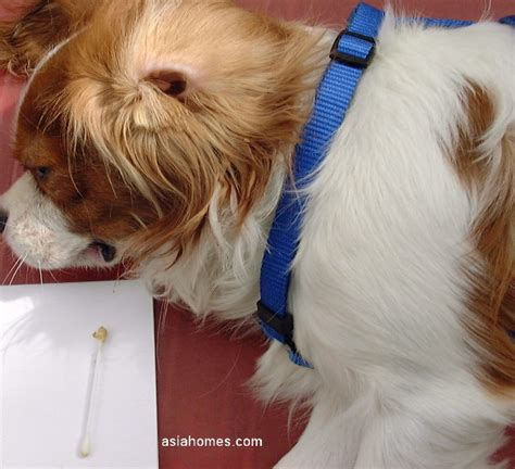 shih tzu ears stand up 1008asingapore toa payoh veterinary surgery animal doctor cat rabbit hamster