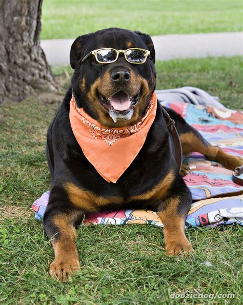 popular dog breeds  america luv  dogs