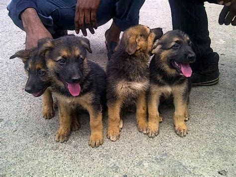 american alsatian puppies for sale alsatian puppy for sale in abuja