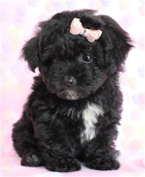 teacup poodle puppies 25 best ideas about poodle puppies on poodles maltipoo and