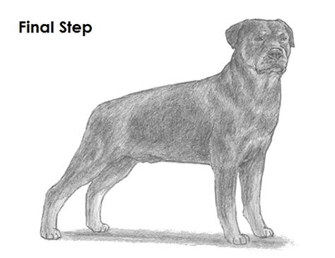 rottweiler drawings how to draw a rottweiler