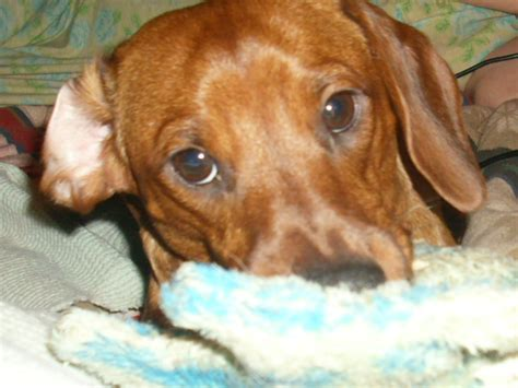 dotson puppies dachshund puppy dogs photo 10748124 fanpop