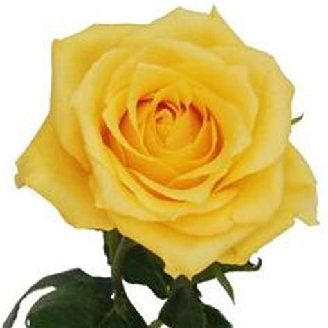 Standar Bunga Mawar aaslmeer gold standard roses fleurs par