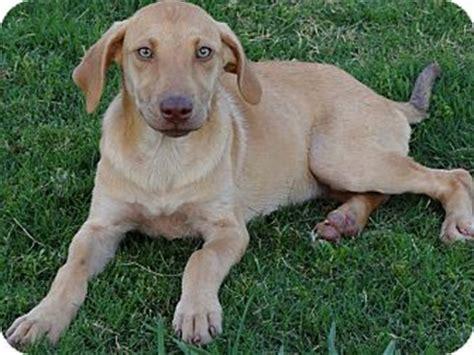 weimaraner lab puppies miley pending adopted puppy westport ct weimaraner labrador retriever mix