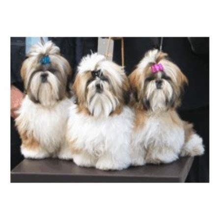 shih tzu breeders ga shih tzu breeders in freedoglistings breeds picture
