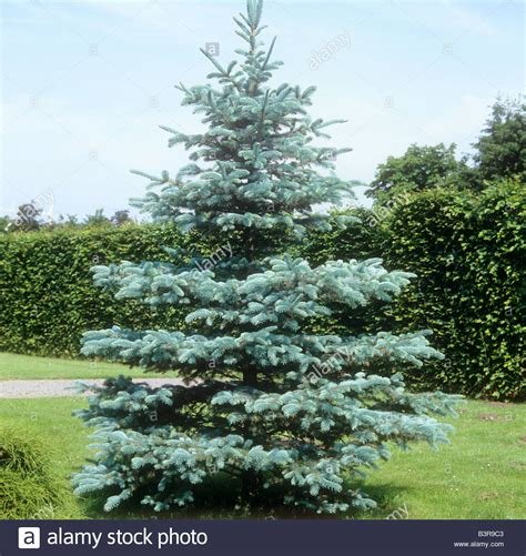 colorado blue spruce trees buy online at nature hills colorado blue spruce picea pungens stock photo royalty