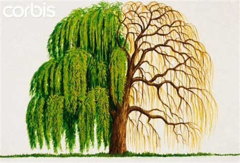 willow pattern meaning 25 best ideas about weeping willow tattoo on pinterest