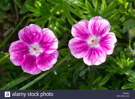 Pink Small Flowers pink and white flowers of the small hardy geranium