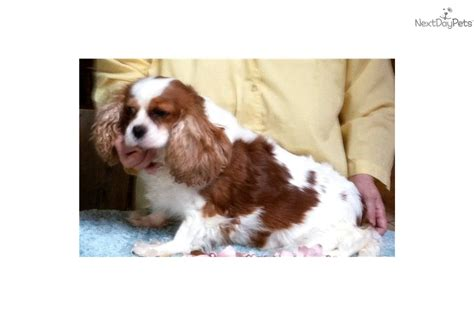 cavalier puppies for adoption cavalier king charles spaniel puppy for adoption near c8fae17a 8282