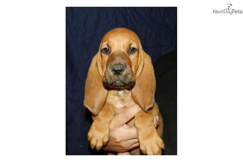 dogs and puppies for sale and adoption oodle marketplace bloodhound puppies www imgkid the image kid has it