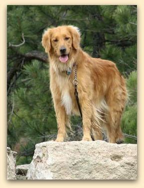 golden retriever south florida gulf coast golden retriever rescue florida