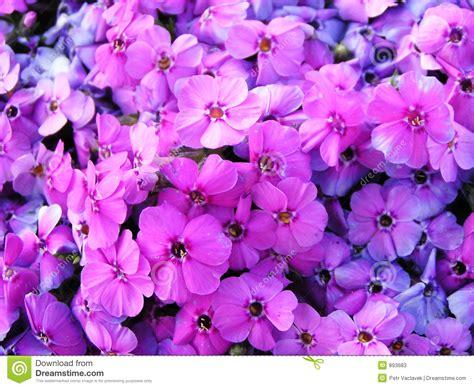 imagenes de flores llamadas violetas imagem completamente das flores violetas imagem de stock