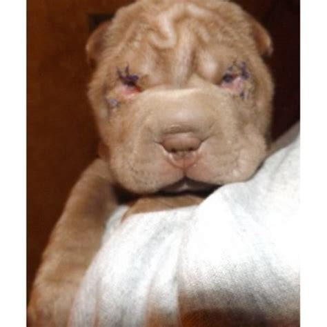 shar pei puppies for sale nc carpesharpei shar pei breeder in matthews carolina