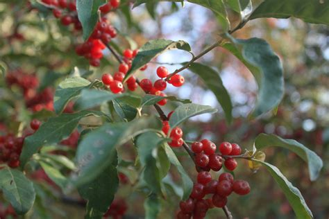 can yorkies eat blueberries trees with berries in autumn 28 images veroniqque november 2010 berries on