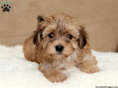havashire puppies 17 best images about designer mixed breeds on dads cavapoo puppies and