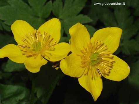 fiori selvatici gialli fiori gialli 5 petali gpsreviewspot
