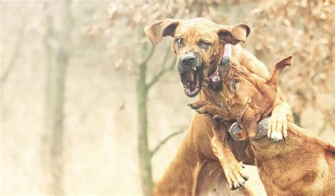 top dog breeds 15 most popular fighting dog breeds some of these will
