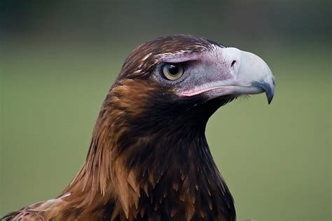 Australian Wedge Tailed Eagle Gives You Some Ideas Of The - 17 best images about wedge tailed eagle on