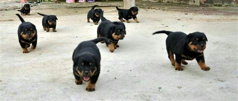 rottweiler puppy price 1000 ideas about rottweiler puppies on rottweilers dogs and puppies