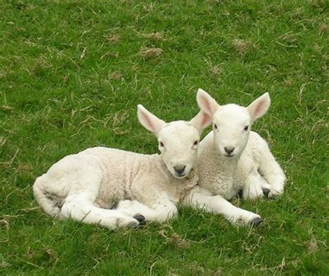 lambs and l lambing bwlch cottage