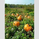 Pumpkins Growing   736 x 981 jpeg 237kB