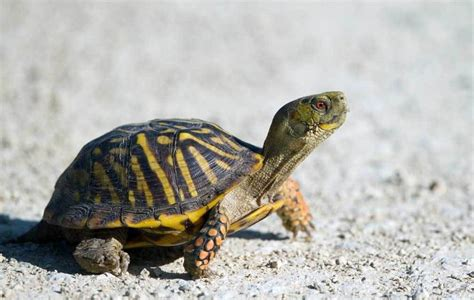 6 Reasons To Get A Tortoise by How To If A Box Turtle Is The Right Pet For You