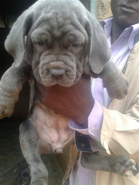 neapolitan mastiff puppies for sale cheap neapolitan mastiff for sale pets nigeria