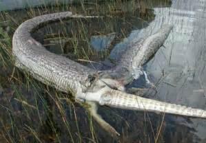 Natural Predator Of Bed Bugs Olive Python Vs Saltwater Crocodile Australia Strikes