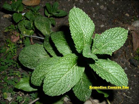 imagenes de flores medicinales plantas medicinales y sus usos remedios caseros