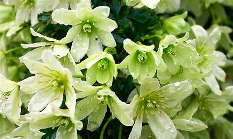 evergreen climbing plants for containers three hardy evergreen clematis in bud for 163 29 99 with free