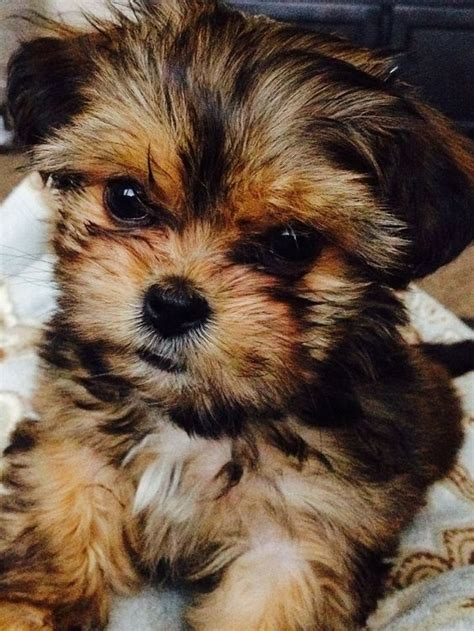 pictures of shorkie dogs with hair shorkie yorkie parti yorkie morkie shorkie pinterest
