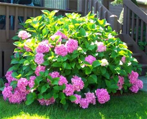 perennial flowering shrubs how to grow and care for hydrangea flower bush the