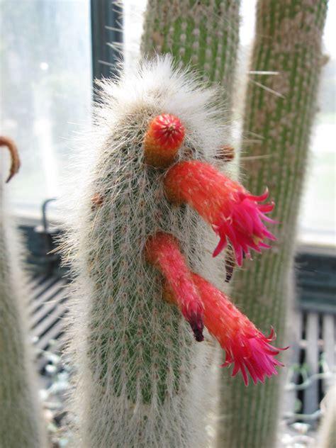 man cactus longwood gardens