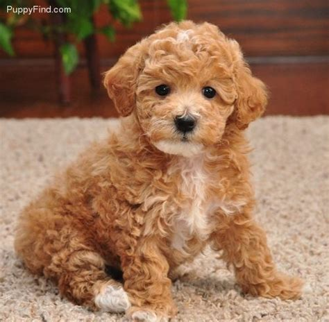 poodle dogs 95 best my poodle images on