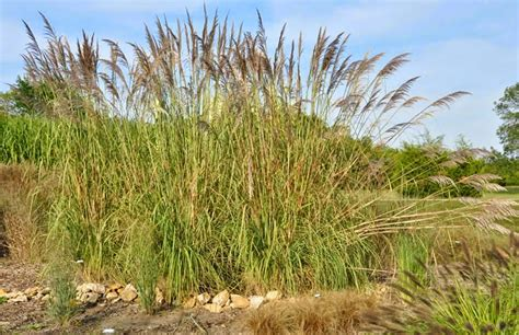 what is elephant grass the garden of eaden