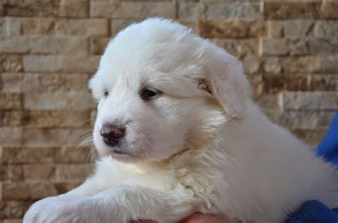 pyrenean mountain puppies pyrenean mountain puppies south west pets4homes