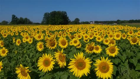 sunflower farm treasured haven farm home
