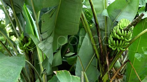 mini banana tree green small banana tree and fruit growing bananas farm