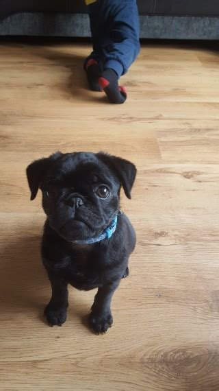 pugs for sale in hertfordshire black pug x puppy for sale hitchin hertfordshire