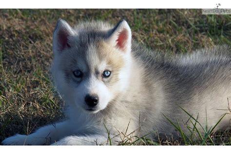 husky puppies for sale in arkansas husky puppies for sale in arkansas f f info 2017