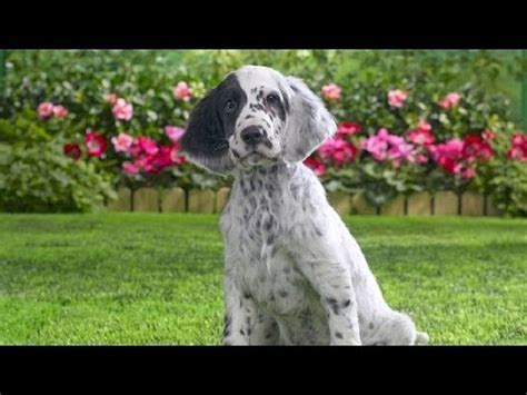 english setter dog 101 english setter dog breed funnydog tv