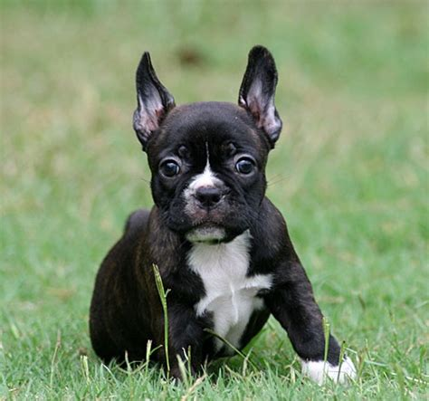 frenchton puppy pictures of frenchton dogs breeds picture
