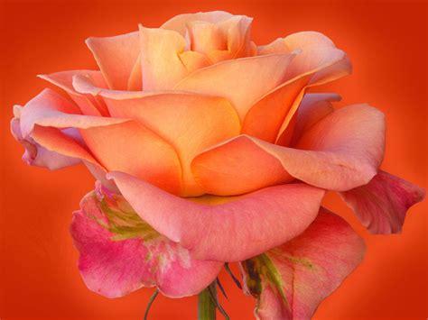 wallpaper for desktop roses free rose wallpaper rose wallpapers